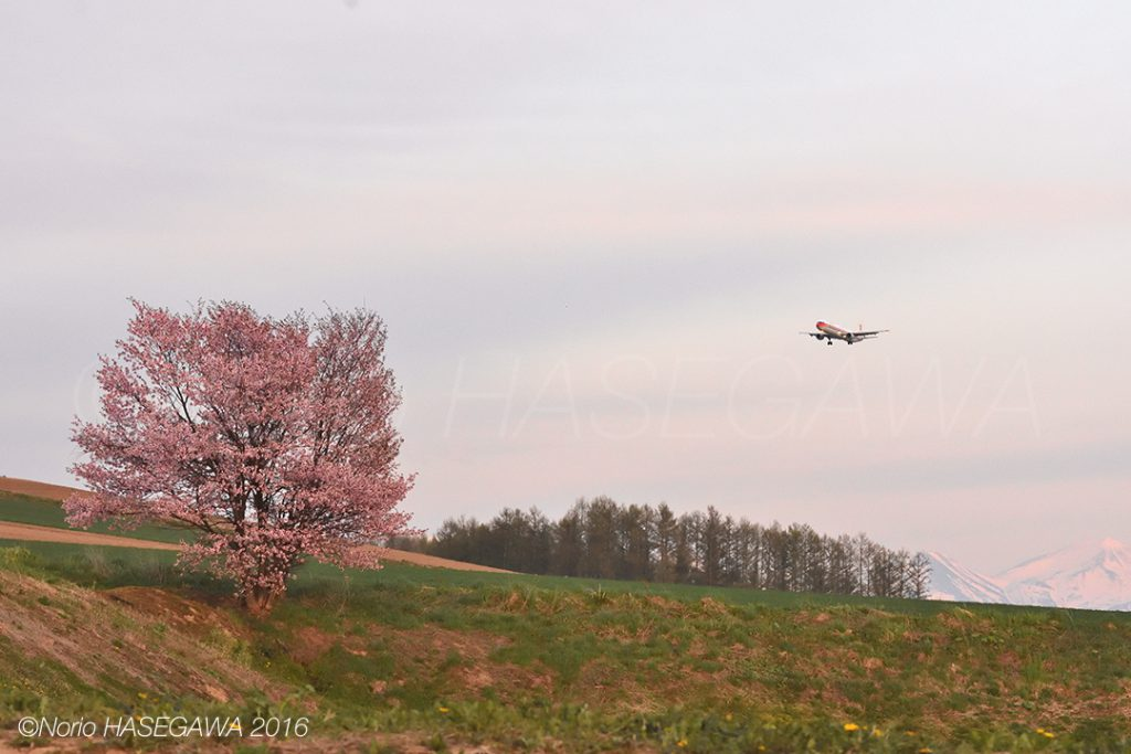 Sakura and the A321, in the evening of the spring.